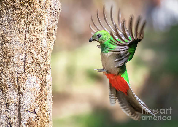 Quetzals Photograph - Mom Returns To The Nest by Carl Jackson