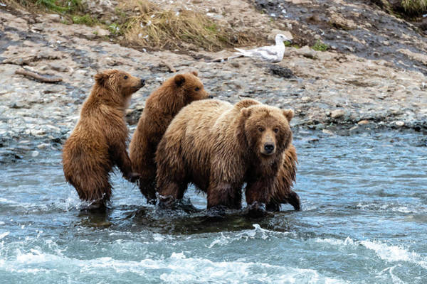 Grizzly Bears Photograph - Moma And Cubs In The River by Ian Stotesbury
