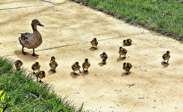 Photograph - Momma And Ducklings by Allen Nice-Webb