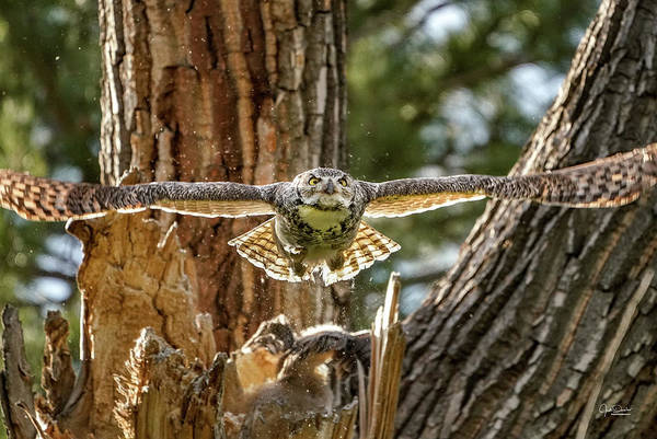 Photograph - Momma Great Horned Owl Blasting Out Of The Nest by Judi Dressler