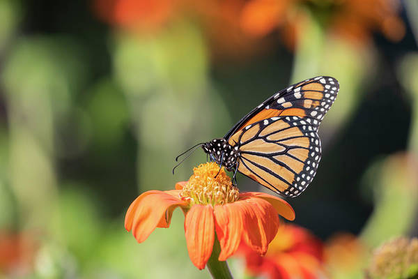 Wall Art - Photograph - Monarch 2018-29 by Thomas Young
