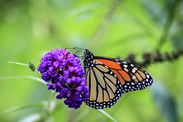 Photograph - Monarch And Black Knight by Dawn Richards