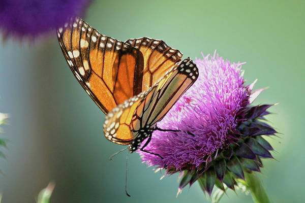 Wall Art - Photograph - Monarch And Thistle by Betty Depee