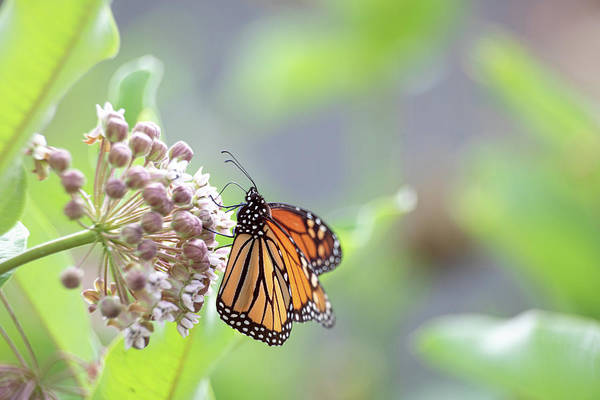 Photograph - Monarch  by Brian Hale
