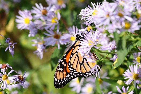 Photograph - Monarch Butterfly 2018 by Carol Montoya