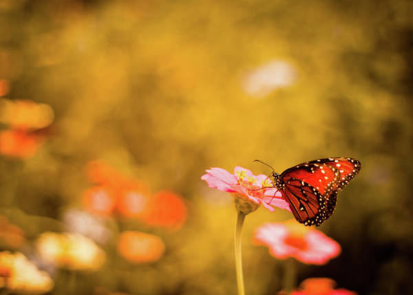 Insect Photograph - Monarch Butterfly Atop Flower In Garden by Jp Benante