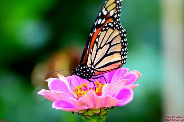 Photograph - Monarch Butterfly Beauty by Lisa Wooten