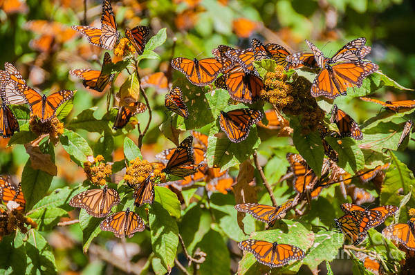 Reserve Wall Art - Photograph - Monarch Butterfly Biosphere Reserve by Noradoa