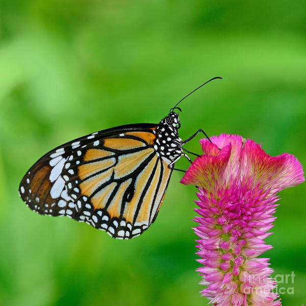 Wall Art - Photograph - Monarch Butterfly by Boonchuay Promjiam