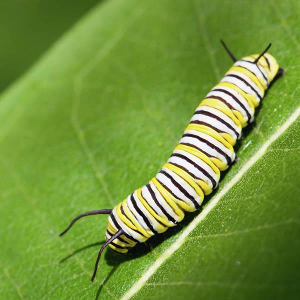 Wall Art - Photograph - Monarch Butterfly Caterpillar by Paul Omernik