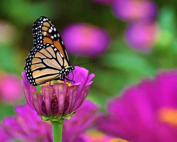 Wall Art - Photograph - Monarch Butterfly by Chip Gilbert