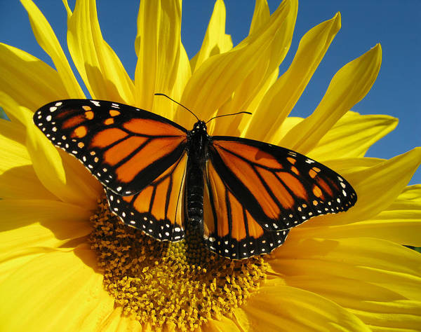 Insect Photograph - Monarch Butterfly by Damon Bay