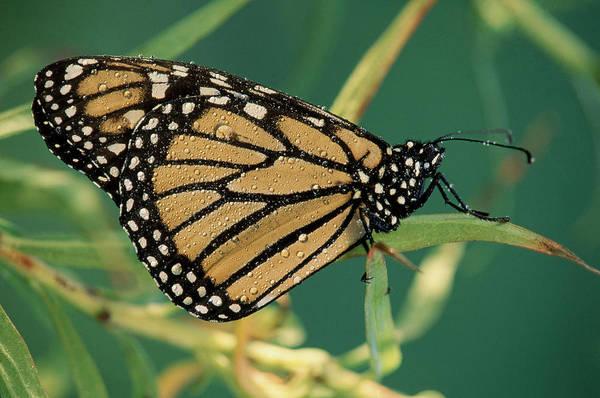 Photograph - Monarch Butterfly Danaus Plexippus by Michael Lustbader
