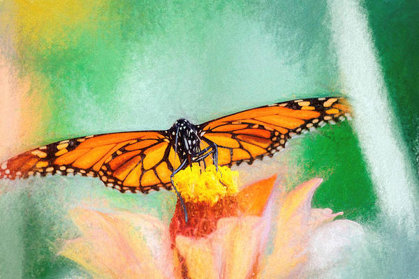 Photograph - Monarch Butterfly Full Spread Chalk by Don Northup