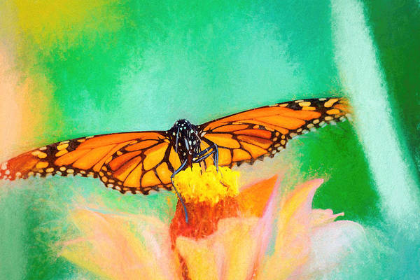 Photograph - Monarch Butterfly Full Spread Smudge by Don Northup