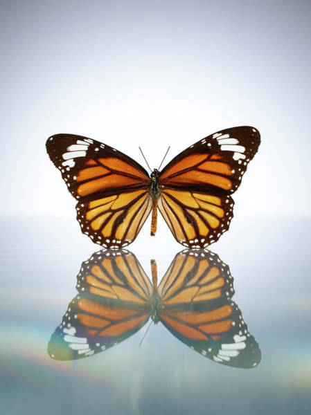 Butterfly Photograph - Monarch Butterfly In A Still Pool Of by Chris Stein