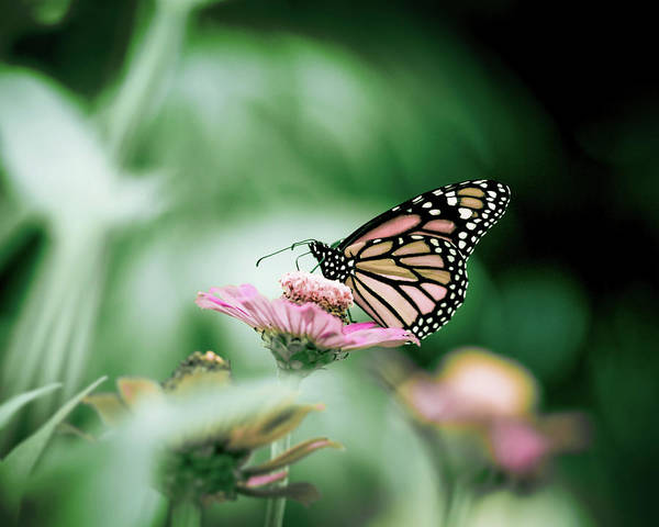 Insect Photograph - Monarch Butterfly In Colorful Flower by Jp Benante