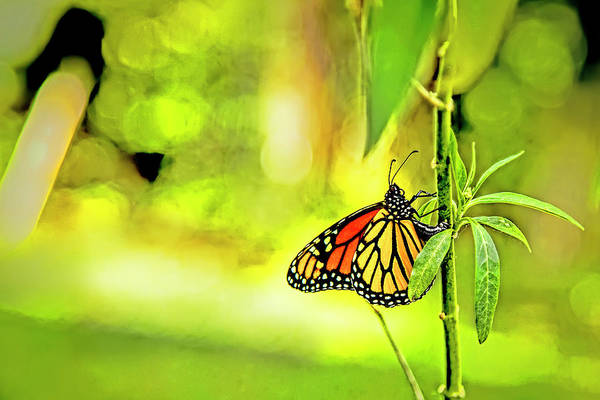 Photograph - Monarch Butterfly by Kay Brewer