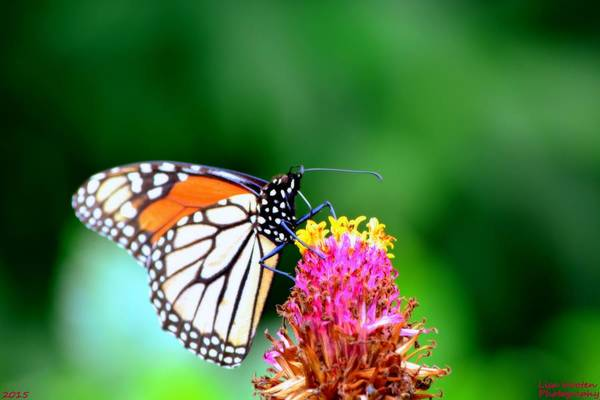 Photograph - Monarch Butterfly by Lisa Wooten