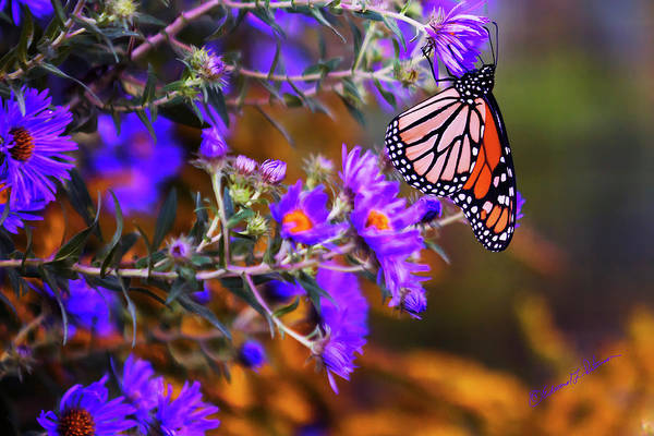 Photograph - Monarch Butterfly Migration 2 by Edward Peterson