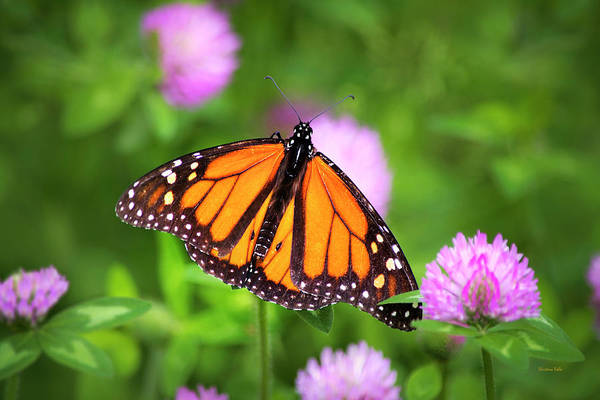 Photograph - Monarch Butterfly On Bright Pink Clover Flowers by Christina Rollo
