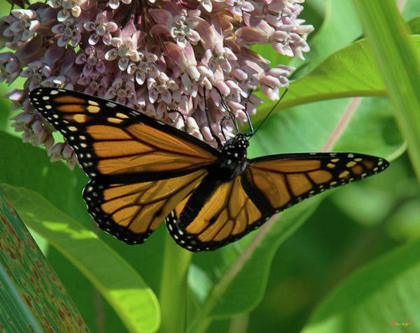 Photograph - Monarch Butterfly On Common Milkweed Din0060 by Gerry Gantt