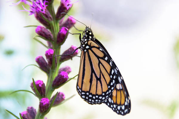 Flutterby Wall Art - Photograph - Monarch Butterfly On Purple Flower by Amy Sorvillo