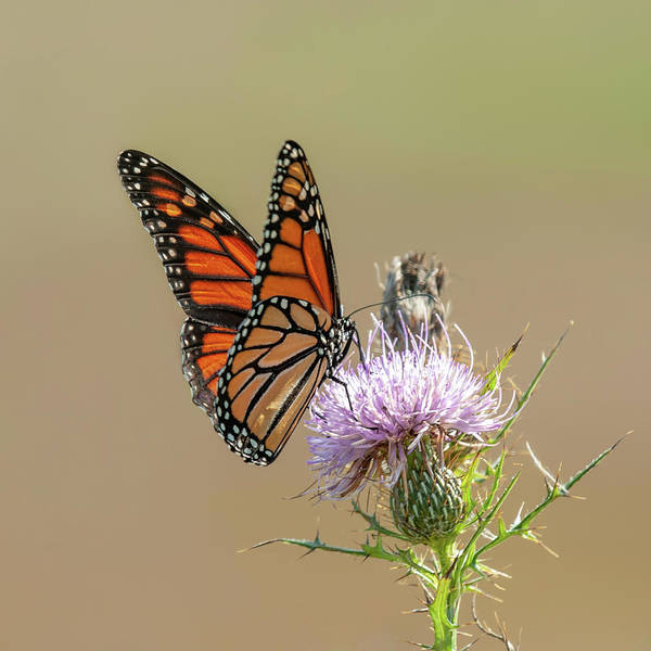 Photograph - Monarch Butterfly On Thistle 3 by Lara Ellis