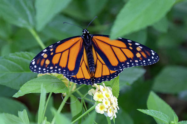 Photograph - Monarch Butterfly by Patricia Schaefer