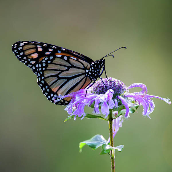 Photograph - Monarch Butterfly Portrait by Dale Kincaid