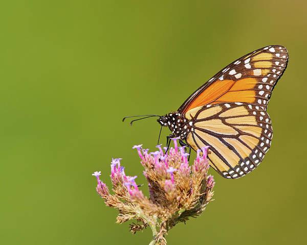 Photograph - Monarch Butterfly by Steve Kaye
