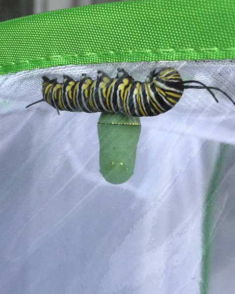 Photograph - Monarch Catepillar And Chrysalis by Patricia Schaefer