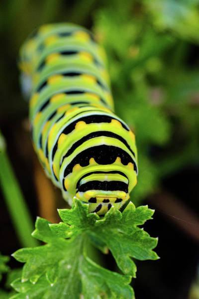 Photograph - Monarch Caterpillar by Jeff Phillippi