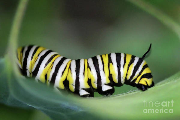Photograph - Monarch Caterpillar Macro by Karen Adams