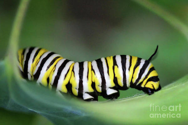 Photograph - Monarch Caterpillar Macro Number 2 by Karen Adams