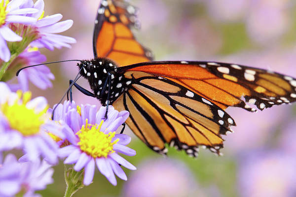Photograph - Monarch Close-up by Garden Gate magazine