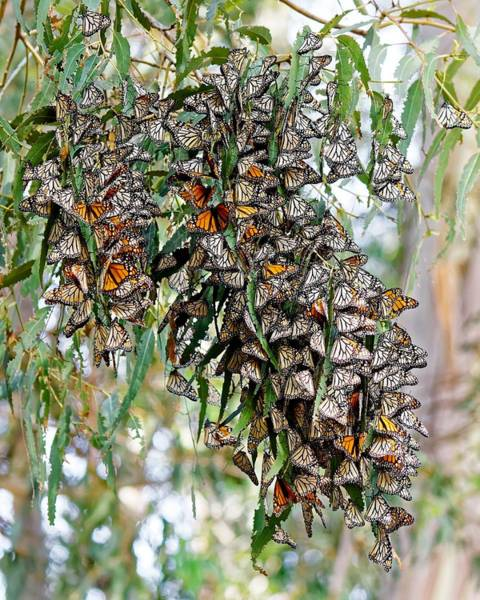 Photograph - Monarch Cuddles by KJ Swan