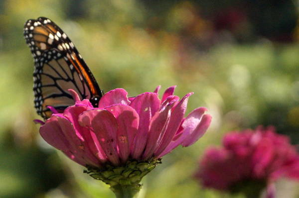 Wall Art - Photograph - Monarch Dreaming by Beth Collins