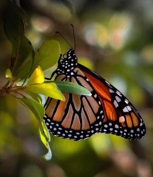 Wall Art - Photograph - Monarch Fascination by Karen Wiles