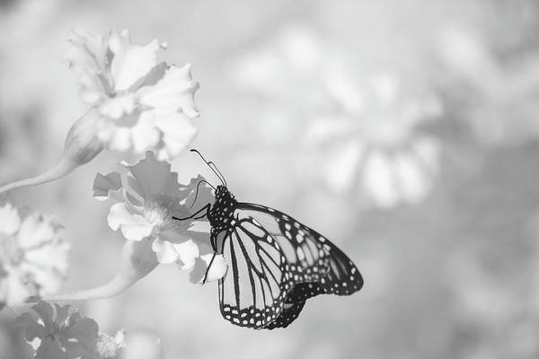 Photograph - Monarch In Infrared by Brian Hale