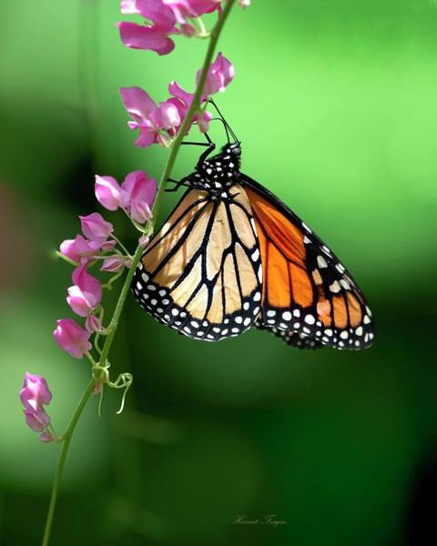 Photograph - Monarch Just Hanging Out by Harriet Feagin