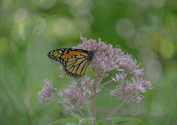 Wall Art - Photograph - Monarch by Lucy Banks