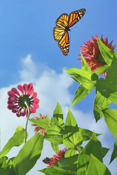 Wall Art - Photograph - Monarch Migration - Butterfly by Nikolyn McDonald