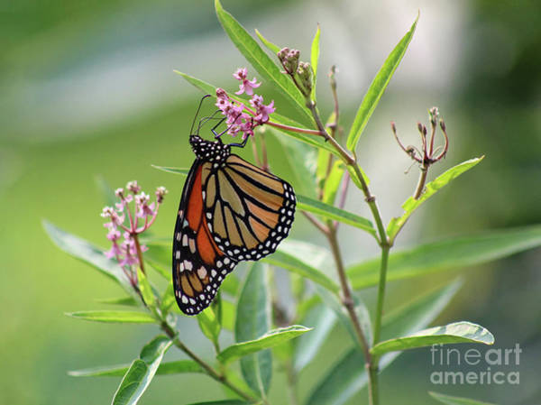 Photograph - Monarch Milkweed Magic by Karen Adams