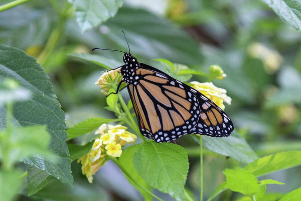 Photograph - Monarch Moment by Patricia Schaefer