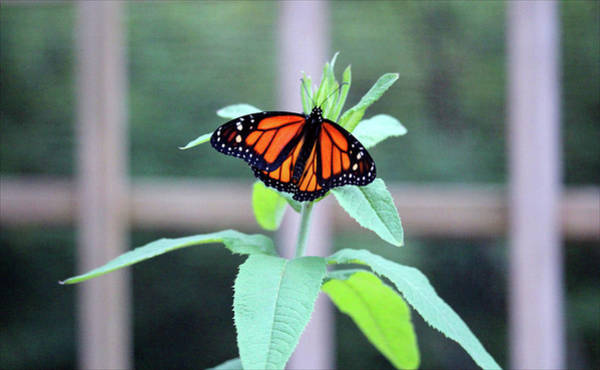 Photograph - Monarch On A Green Plant by Cynthia Guinn