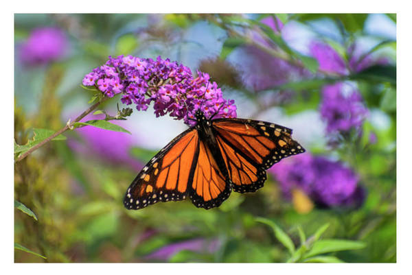 Photograph - Monarch On Butterfly Bush by Rima Biswas
