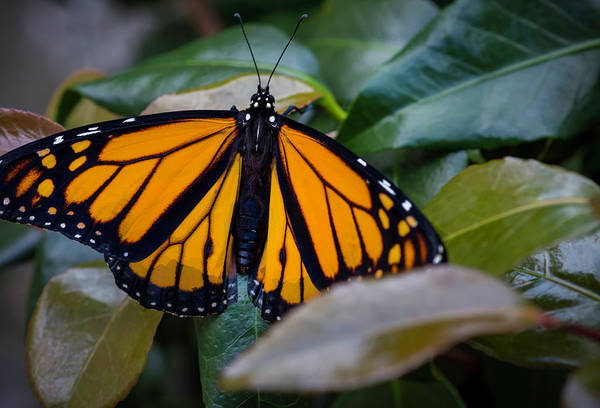 Photograph - Monarch On Camelia by Keith Smith