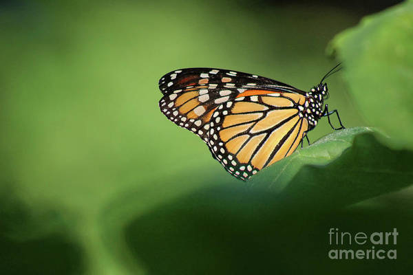 Photograph - Monarch On Milkweed by Karen Adams