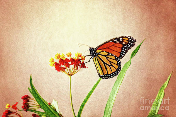 Wall Art - Photograph - Monarch On Milkweed by Sharon McConnell